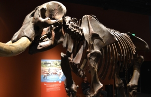 Elko mammoths-and-mastodons-at-the-denver-museum-of-nature-and-science-mastodon-skeleton